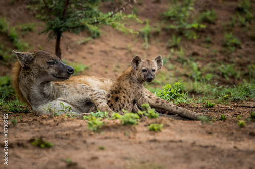 Papiers peints Hyène Spotted Hyena cub with mother in the Kruger National Park, South Africa.