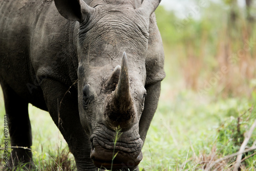 Starring White rhino in the Kruger National Park, South Africa.