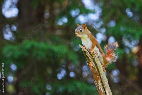 Fotobehang Eekhoorn Canadian female red squirrel perched on a branch. A blurred forest provides an abstract background with abundant copy space.