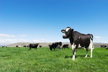 Pasture With Animals In Summer Day In New Zealand