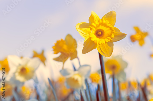 Photographie  Spring Daffodil Flowers Background, Vivid Pastel Colors
