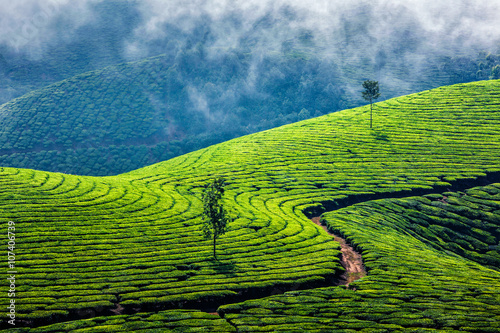 obraz dibond Green tea plantations in Munnar, Kerala, India