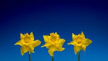Three Daffodils Isolated Again...