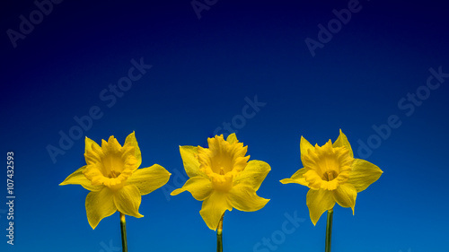 Deurstickers Narcis Three daffodils isolated against a blue background