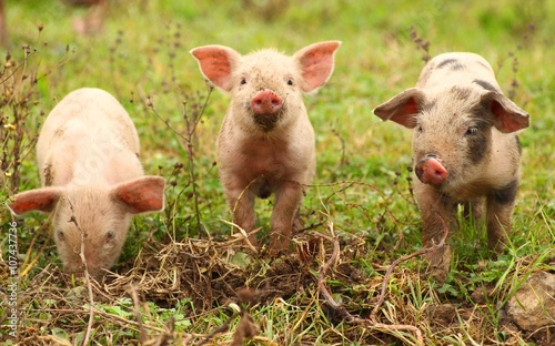 Fotografía Piglets on farm