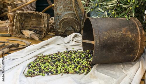 Photo sur Aluminium Ligurie Olive taggiasche