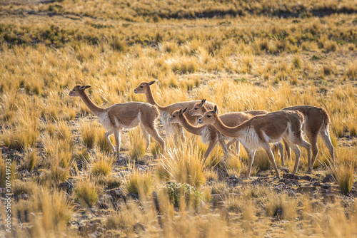 Staande foto Lama Group of vicunas in the peruvian Andes