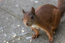 Rotes Eichhörnchen Schaut In ...