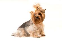Yorkshire Terrier Portrait In Studio