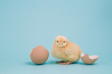 A Day Old Chick With A Cracked Shell On Blue Background
