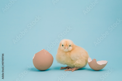 Fotografia A day old chick with a cracked shell on blue background