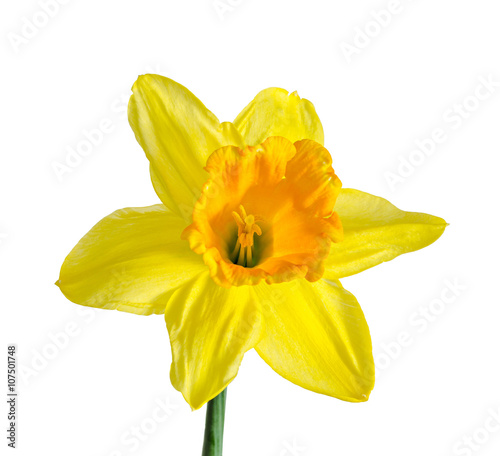 In de dag Narcis Yellow daffodil, narcissus flower, close up, isolated on white background