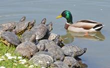 Male Mallard And Water Turtles