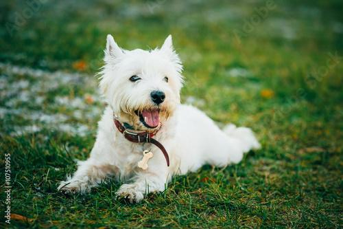 Fototapeta Small West Highland White Terrier - Westie, Westy Dog  obraz