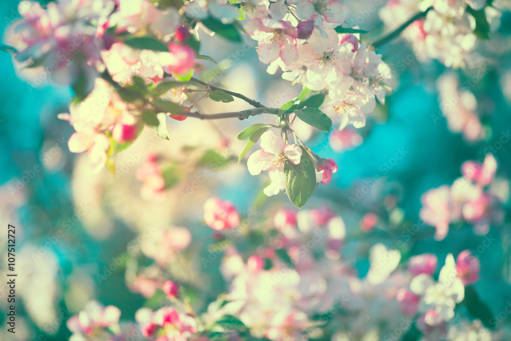 Spring apple blossom over blue sky. Blooming tree
