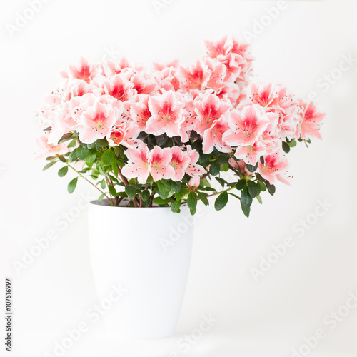 Poster Azalea Pink and white azalea flower plant in white pot on light backgro