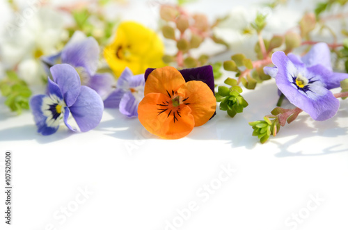 Fotografie, Obraz  viola and violet on white background