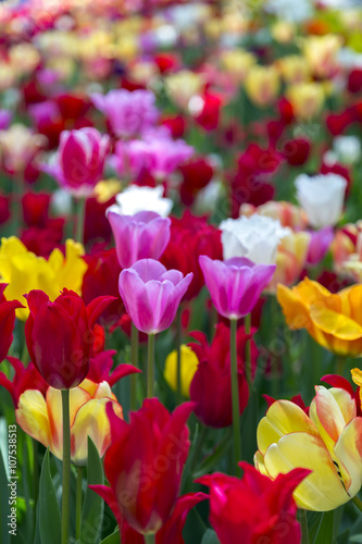 Poster Bordeaux Beautiful tulips, fresh spring flowers, flowerbed