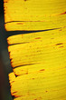 abstract of dry banana leaf