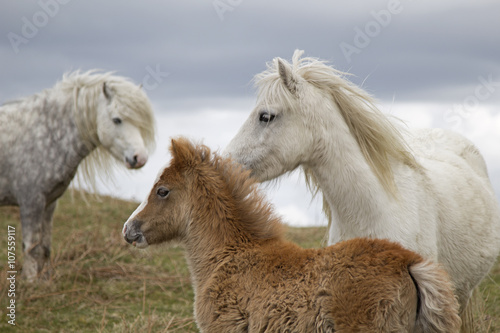 Photo Wild Ponies