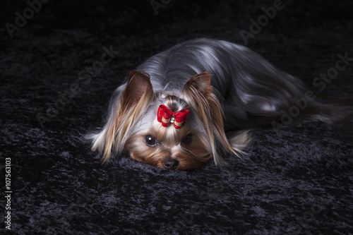 Cute Yorkshire Terrier on Black Blanket Poster