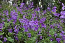オオアラセイトウ / 栃木県にてオオアラセイトウの花を撮影しました。