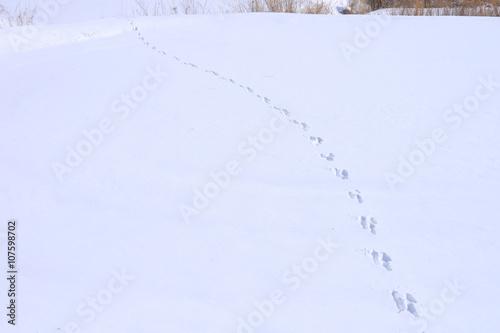 Fotografie, Obraz  雪原に残るウサギの足跡