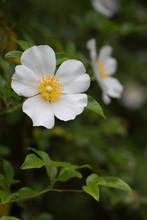 Closeup Of Cherokee Rose (Rosa Laevigata) On Vine