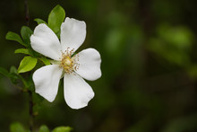 Single White Cherokee Rose Flo...