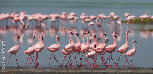 Garden Poster Flamingo The courtship dance flamingo. Kenya. Africa. Nakuru National Park. Lake Bogoria National Reserve. An excellent illustration.