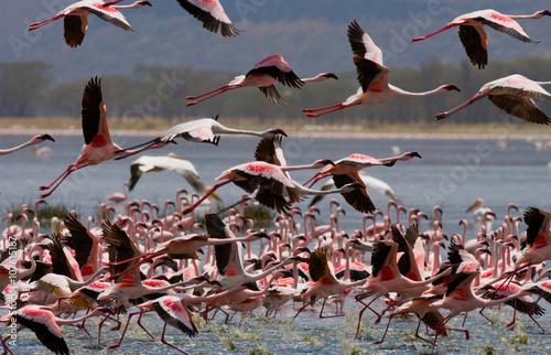 Foto op Aluminium Draken Big group flamingos on the lake. Kenya. Africa. Nakuru National Park. Lake Bogoria National Reserve. An excellent illustration.