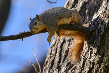Fox Squirrel Laying On Branch ...