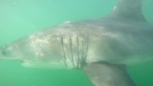Great White Shark Slow Motion Underwater View From Cage, South Africa