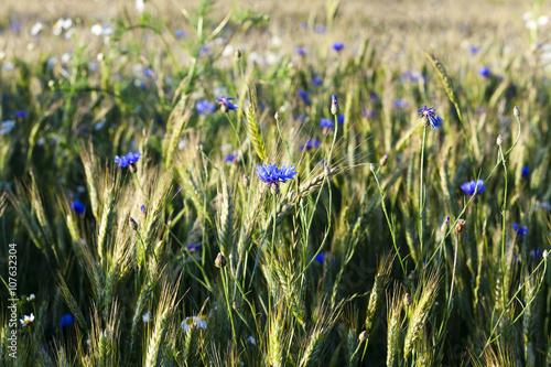 Fototapety, obrazy: cornflowers on the field