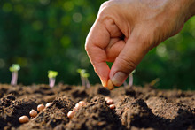 Farmer's Hand Planting Seeds In Soil