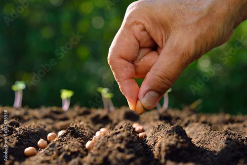 Farmer's hand planting seeds in soil