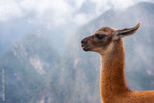 Lama's portrait at mountains background in Peru.