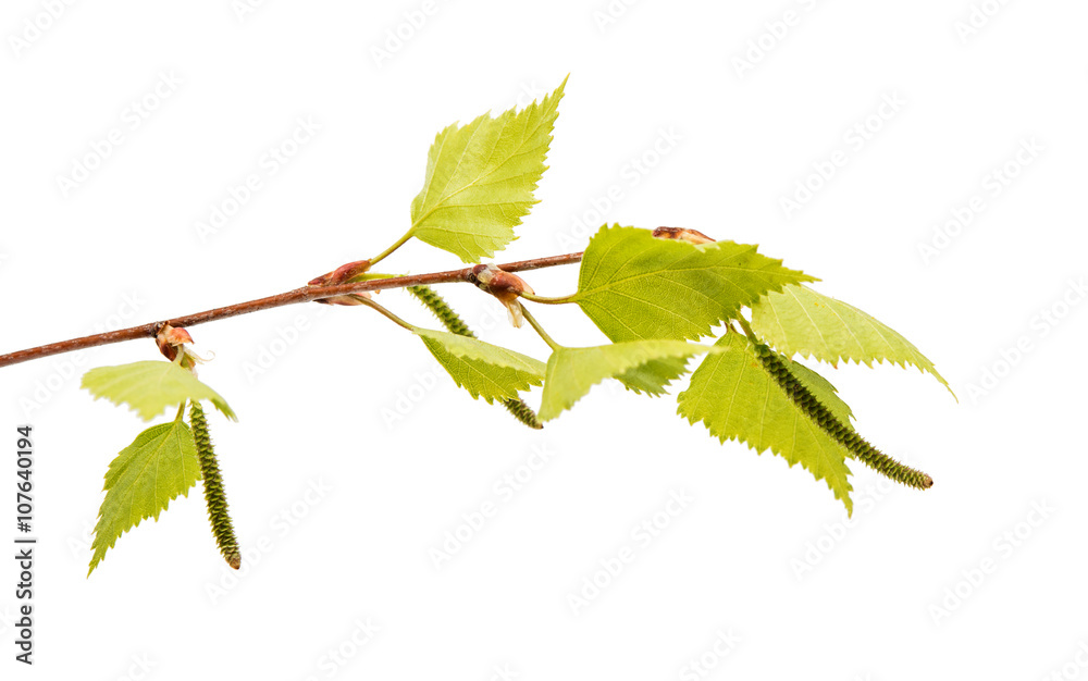 Birch branch with young leaves
