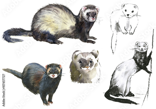 Valokuva  Ferrets.Pencil and watercolor drawing on white background