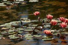 The Opened Lilies On Water