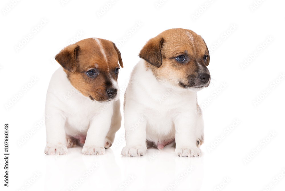 two jack russell terrier puppies sitting on white