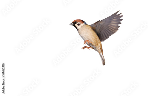 Foto auf Leinwand Vogel Flying Eurasian tree sparrow isolated on white (Passer montanus)