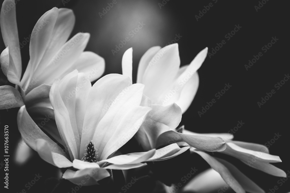 Fototapeta magnolia flower on a black background