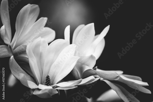 Foto op Canvas Magnolia magnolia flower on a black background