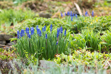 Flower Bed With Blue Blooming Hyacinth Muscari In The Springtime Garden After Rain