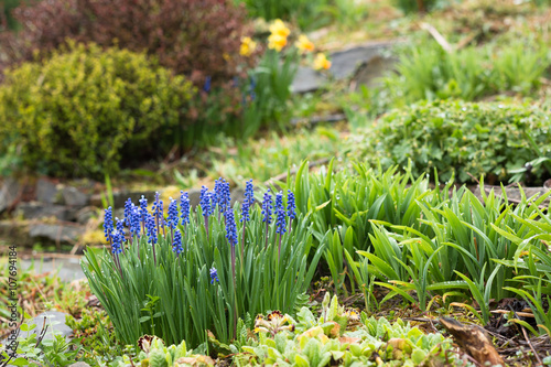 springtime flowerbed with blooming blue muscari hyacinth in traditional british garden with berberis in the background