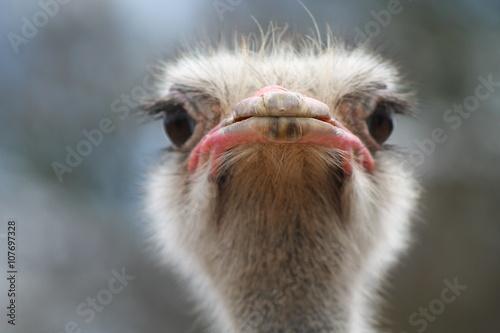 Stickers pour porte Autruche Ostrich head closeup outdoors