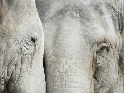 Head from Elephant in the Leipzig Zoo, Germany - 107701597