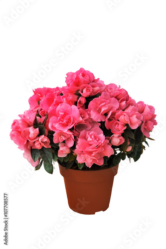 pink azalea in a pot on white background