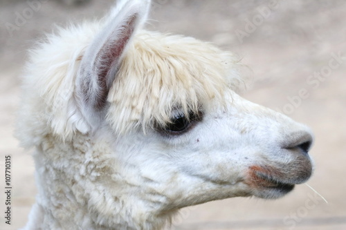 Foto auf AluDibond Lama Alpaca, eye